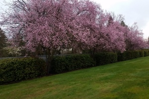 Flowering-Cherry-Trees-in-Central-Point-Medford-OR